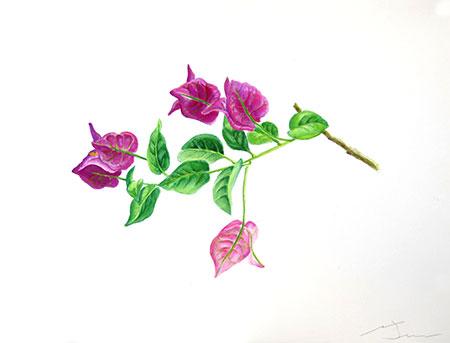 Bunganvillia Acuarel·la 31 x 23 cm