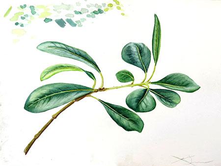 Pittos Porum Acuarel·la 31 x 23cm
